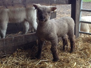 Highford Southdown 2016 ewe lamb